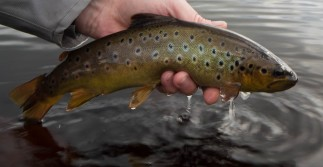 Brown Trout Islay