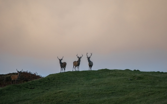 Islay Stags